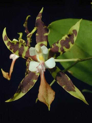 http://www.andysorchids.com/images/Species/3369med.jpg